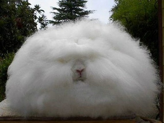 Angora rabbit05
